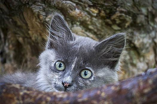 Curious kitten by Hitendra SINKAR