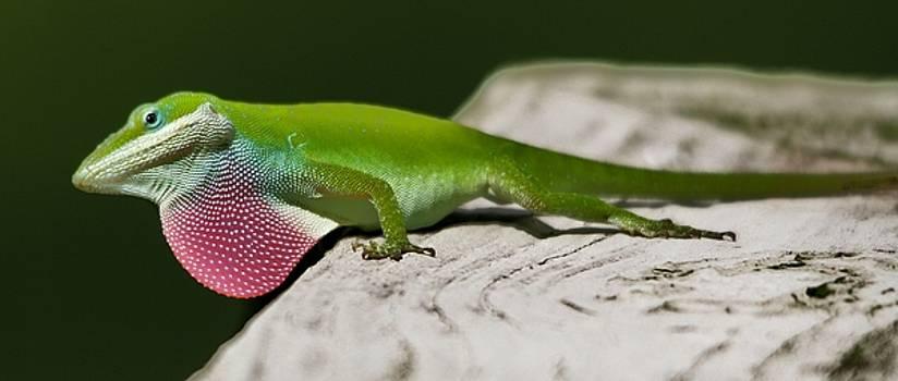 Paulette Thomas - Curious Lizard