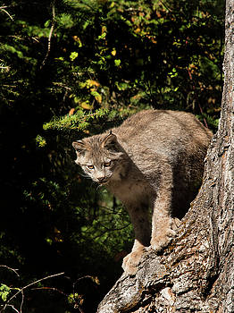 Curious Lynx by Roy Nierdieck