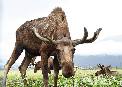 Curious Moose by Dacia Doroff