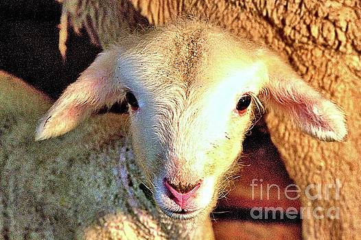 Curious Newborn lamb by Carole Martinez