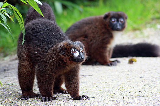 Curious red bellied lemur by Fun Cards