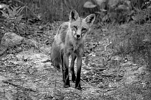 Debbie Oppermann - Curious Red Fox Black And White