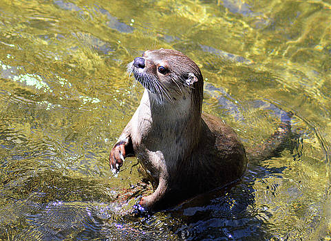 Kathy Kelly - Curious River Otter