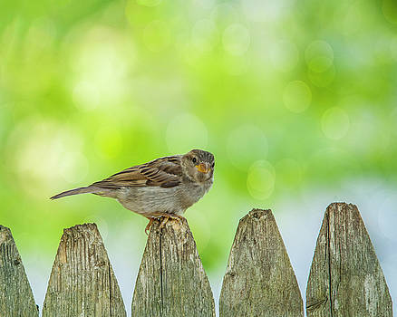 Curious Sparrow by Cathy Kovarik