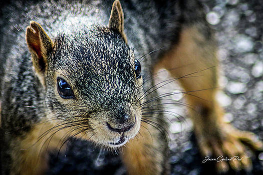 Curious Squirrel by Joann Copeland-Paul
