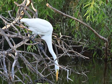 Patricia Twardzik - Curious White Egret