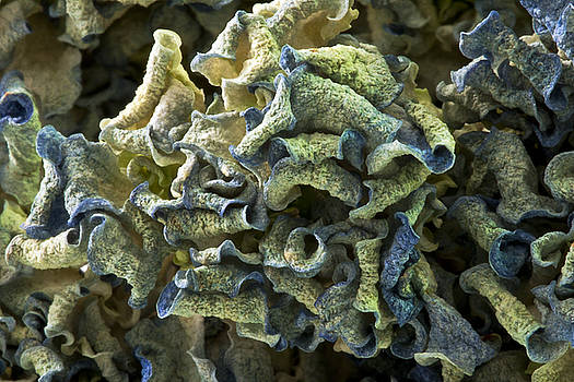 Sandra Foster - Curled Dried Blue Hydrangea Macro