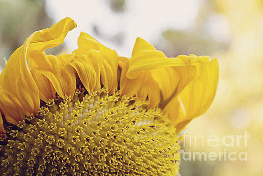 Curling petals on sunflower by Cindy Garber Iverson