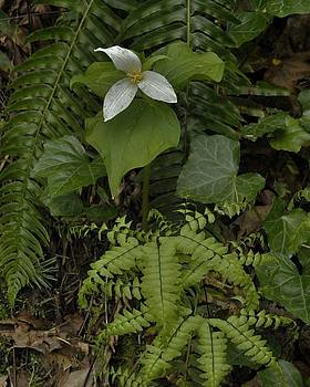 Charles Lucas - Trillium in its Kindred Terrain