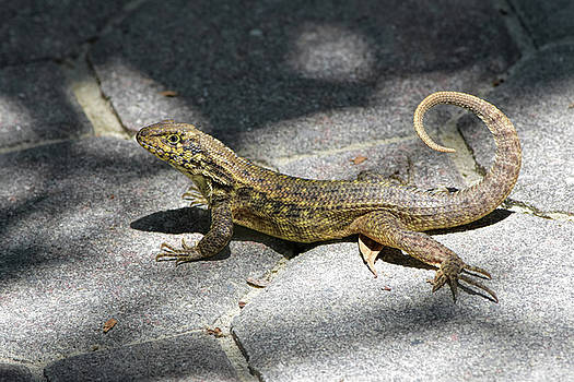 Curly-tailed On Cobblestone by William Tasker