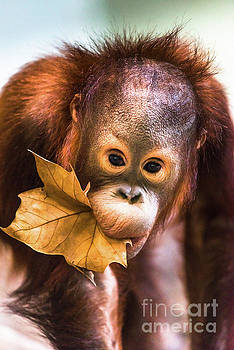 Cute baby orangutan playing. by Andrew Michael