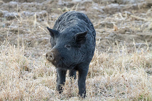 Cute Black Pig by James BO Insogna