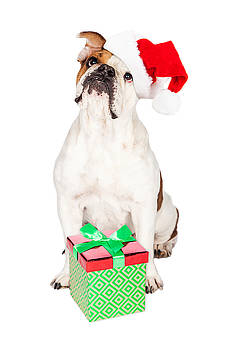 Susan Schmitz - Cute Bulldog With Christmas Present