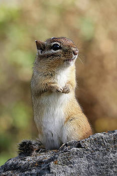 Cute Chipmunk by Doris Potter