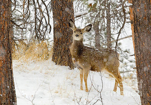 Steve Krull - Cute Deer in Heavy Snow in the Pike National Forest