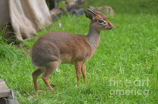 Cute Dik Dik with a Small Twig in His Mouth by DejaVu Designs