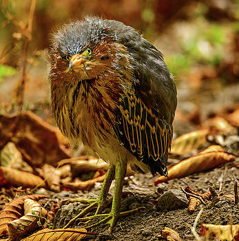 Cute Green Heron by Jerry Cahill