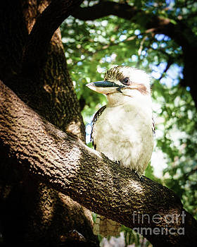 Cute Kookaburra by Silken Photography
