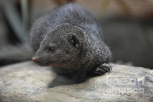 Cute Little Dwarf Mongoose on a Rock by DejaVu Designs