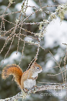 Cute Little Red in Winter by Natural Focal Point Photography