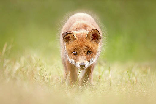 Cute Overload Series - Baby Fox Exploring the World by Roeselien Raimond
