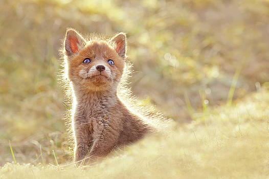 Cute Overload Series - Baby Fox Looking Up by Roeselien Raimond