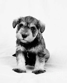 Cute Puppy 1 by Serene Maisey