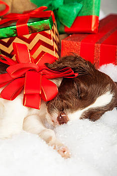 Susan Schmitz - Cute Puppy With Red Bow Sleeping By Gifts