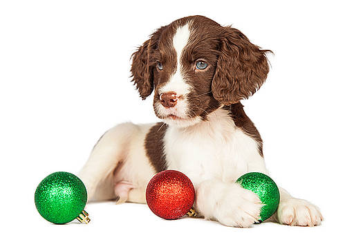 Susan Schmitz - Cute seven week old puppy with red and green Christmas ornaments