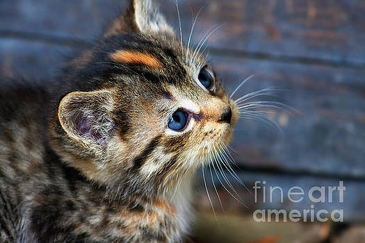 Jill Lang - Cute Tabby Kitten
