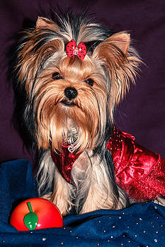 Cute Yorkie Puppy in Red Dress by Yana Reint