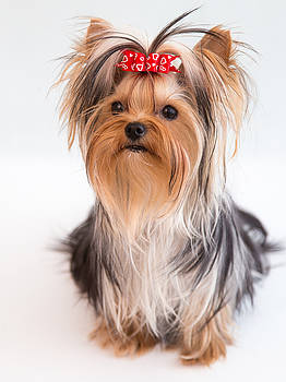 Cute Yorkie Puppy with Red Bow by Yana Reint