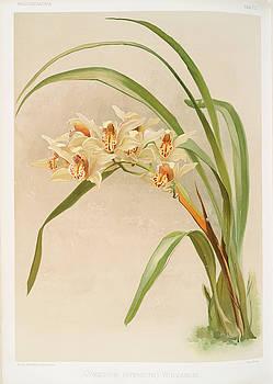 Ricky Barnard - Cymbidium Hybridum Winnianum