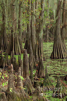 Cypress in Caddo Lake by Iris Greenwell