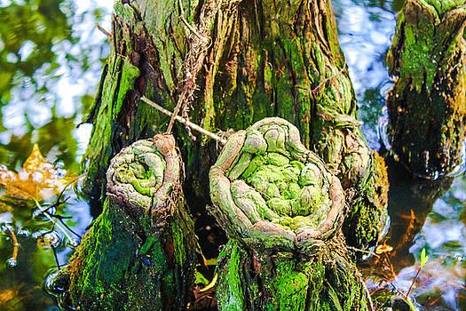 Cypress Knees by Stacey Rosebrock