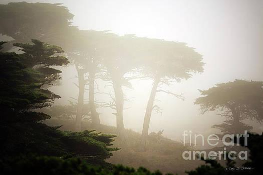 Cyprus Tree Grove in Fog by Craig J Satterlee