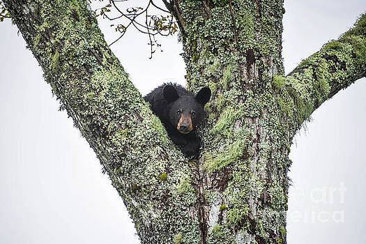 Da Black Bear by Debbie Morris