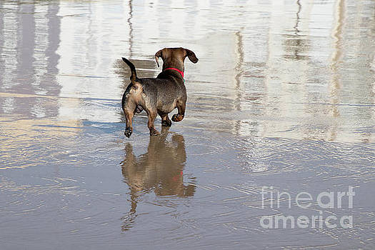 Dachshund on a Beach by PJ Boylan