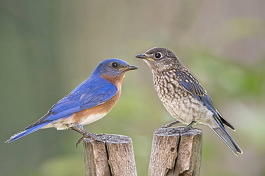 Daddy Bluebird and Juvenile by Bonnie Barry
