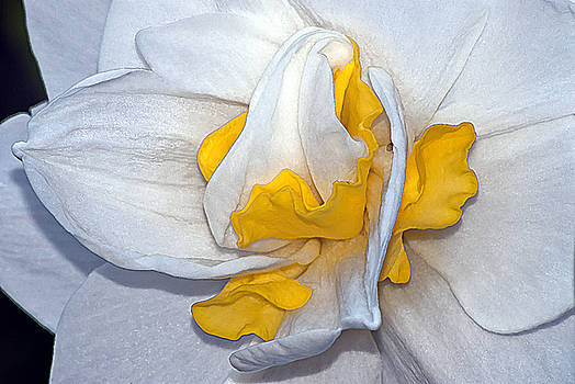 Daffodil Abstract by Emerald Studio Photography