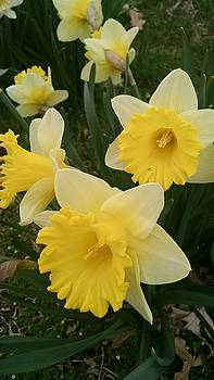 Daffodil Delight by Connie Young