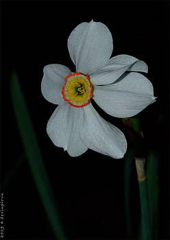 Daffodil by Dorin Emanoil Pirvu