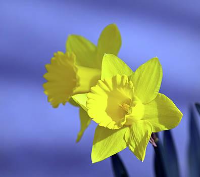 Daffodil Duo by Maria Keady