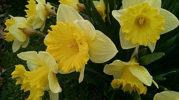 Daffodil Explosion by Connie Young