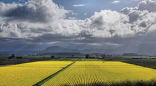 Daffodil Fields Forever by Rick Lawler