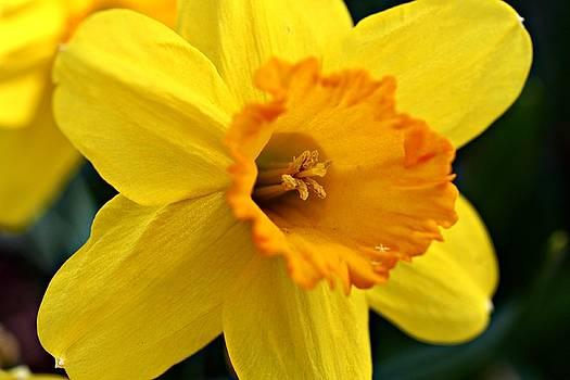 Andrew Davis - Daffodil Flower Macro All Yellow