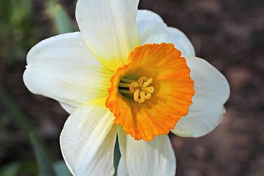 Andrew Davis - Daffodil Flower Macro White Orange and Yellow
