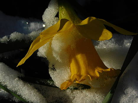Daffodil in the Snow by Muri McCage