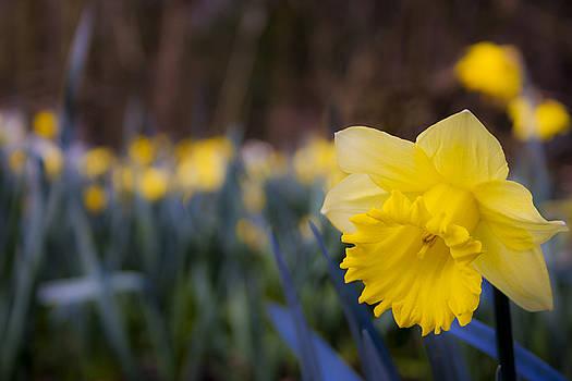 Daffodil by Nigel Spencer